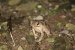 Rhinella granulosa toad