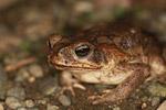 Rhinella granulosa or R. marina toad [colombia_1865]