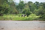 Zebu bull in Colombia