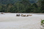 Cowboys herding cattle across a river [colombia_2075]