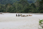 Cowboys herding cattle across a river [colombia_2077]