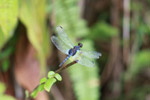 Blue dragonfly [colombia_2121]