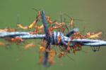 Bright orange assassin bugs