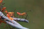 Bright orange assassin bug nymphs [colombia_2265]