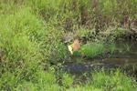 Social flycatcher bathing [colombia_2417]