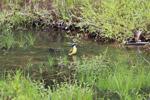 Social flycatcher bathing [colombia_2423]