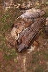 Craugastor raniformis frog [colombia_2460]
