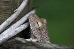 Hypsiboas pugnax Tree frog [colombia_2466]