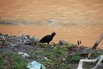 Black vulture [colombia_2486]