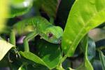 Juvenile green iguana (Iguana iguana) [colombia_2502]