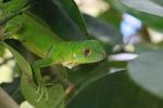 Juvenile green iguana (Iguana iguana) [colombia_2522]