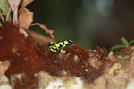 Green and Black Poison Dart Frog (Dendrobates auratus) in Colombia [colombia_2733]