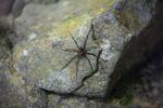 Fishing spider [colombia_2774]