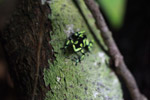 Green and Black Poison Dart Frog (Dendrobates auratus) in the rainforest canopy [colombia_2785]