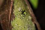 Green and Black Poison Dart Frog (Dendrobates auratus) in the rainforest canopy