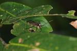 Clown leaf-footed bug