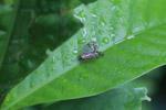 Fulgoridae family bug [colombia_2806]