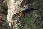 Orange Head Gecko (Gonatodes albogularis)