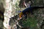Red Headed Gecko (Gonatodes albogularis)