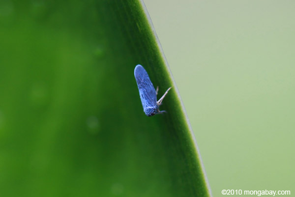 Blue planthopper
