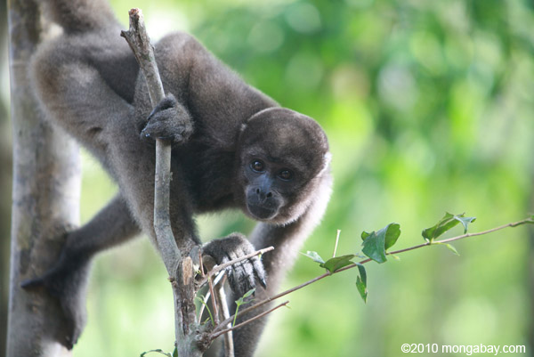 The Common woolly monkey is one of the larger-bodied primates in the Amazon. Photo by: Rhett A. Butler.