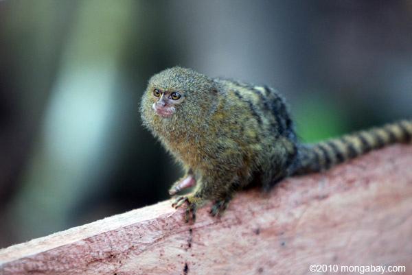 Pygmy Marmoset (Cebuella pygmaea) [colombia_1030]