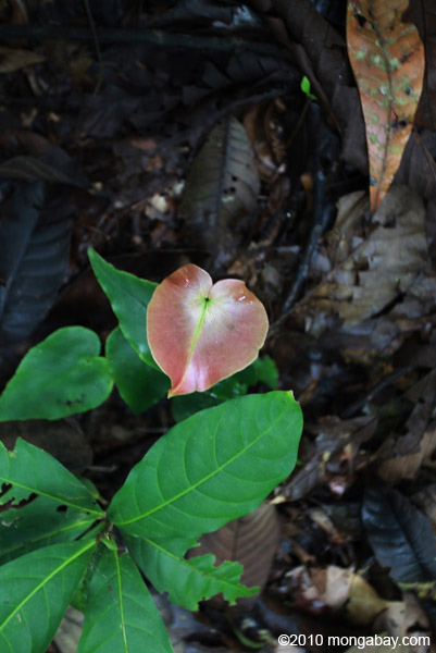 Red leaf emerging from the forest floor