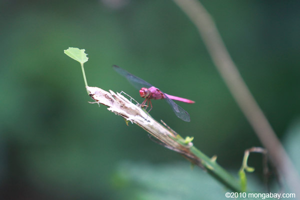 Raspberry dragonfly in Colombia