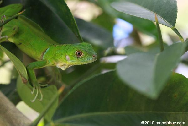 Juvenile green iguana (Iguana iguana) [colombia_2523]