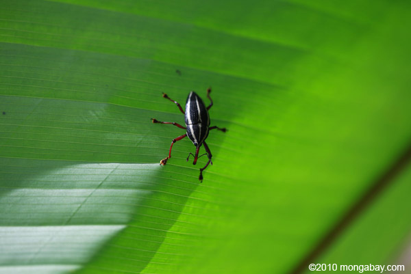 An unknown weevil