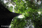 Looking up the trunk of a rainforest tree [java_0048]
