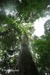 Large rainforest tree [java_0091]