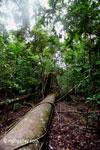 Fallen rainforest tree in Ujung Kulon N.P.