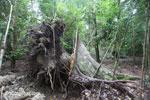 Jatuh pohon di Ujung Kulon