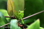 Bright green grasshopper