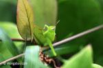 Bright green grasshopper [java_0308]