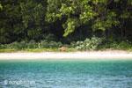 Java deer on the beach at Peucang Island