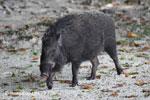 Male wild boar [java_0484]