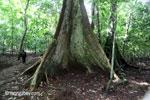 Tinggi dinding penopang akar pohon hutan hujan