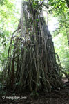 Gigantic strangler fig [java_0528]