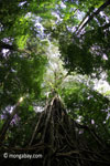 Gigantic strangler fig [java_0543]