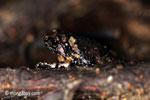 Forest leaf litter toad [java_0555]