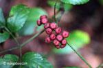 Maroon berries