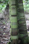 Banded pola pada kulit pohon hutan hujan