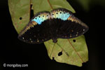 Blue and black butterfly [java_0626]