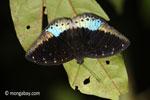 Biru dan hitam kupu