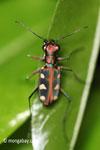 Tiger beetle [java_0665]