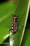 Tiger beetle [java_0666]