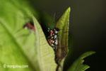Tiger beetle [java_0678]