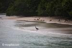 Black-headed Heron (Ardea melanocephala) on a tropical beach